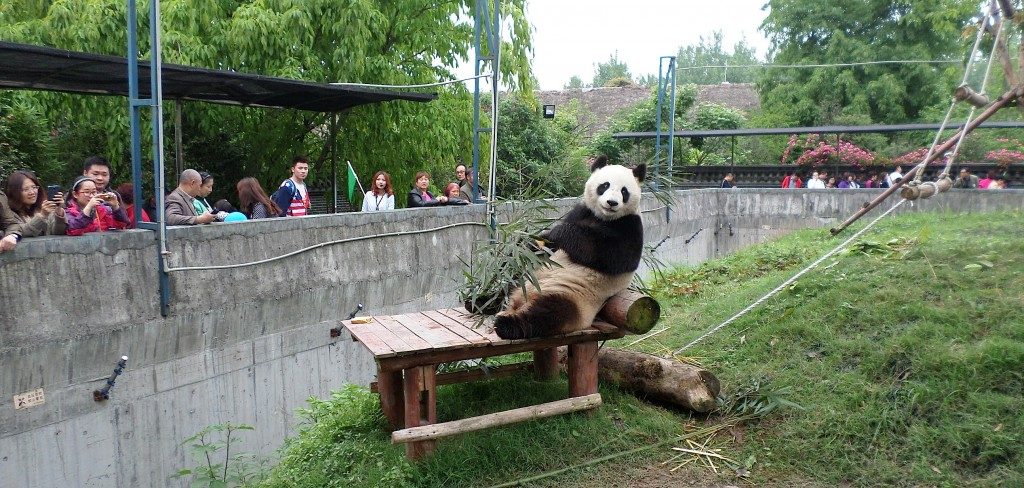 The pandas are a huge tourist attraction.